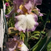 Bearded iris with white petals bordered in light to medium purple