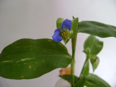 Stem with somewhat ovoid green leaves and small bright blue flower
