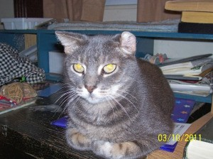 Closeup of grey and black tabby cat sitting on a desk