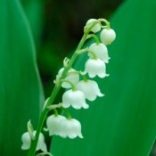 White bell-like flowers of Lily-of-the-Valley