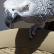 An African Gray parrot on the back of a chair.