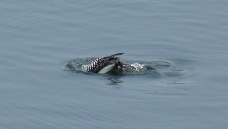 Loon Diving