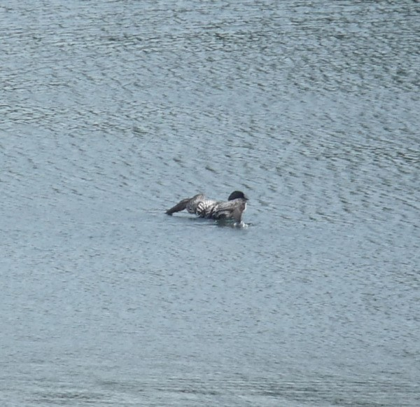 Loon in Water
