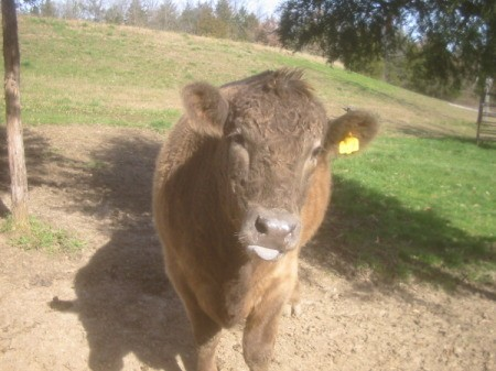 A brown steer with a yellow tag on his ear.
