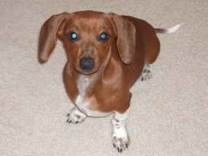 A brown mini dachshund on a cream colored carpet.