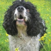 A black and white cocker spaniel in a field of green and yellow wildflowers.
