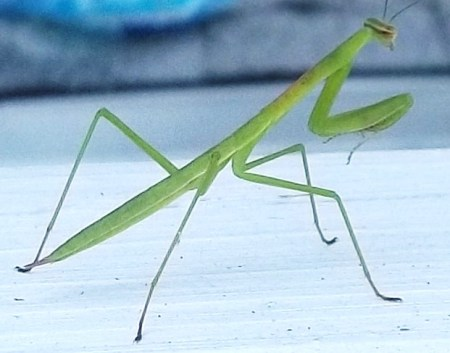 Praying Mantis Zoom