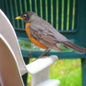 A robin sitting on an outside plastic chair.