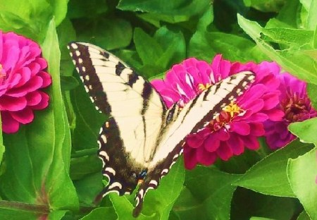 An orange and black Tiger Swallowtail butterfly near some pink flowers.