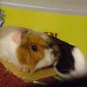 One brown and white and one black and white guinea pig looking out of a cardboard box.