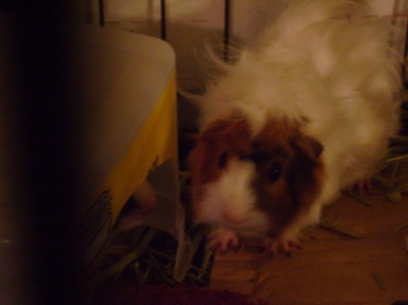 A curly brown and white guinea pig in a cage.