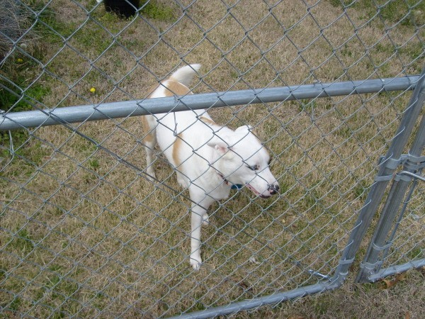 DDog that is in a yard behind a chain link fence.