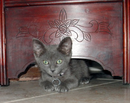 A grey kitten underneath a wooden dresser.