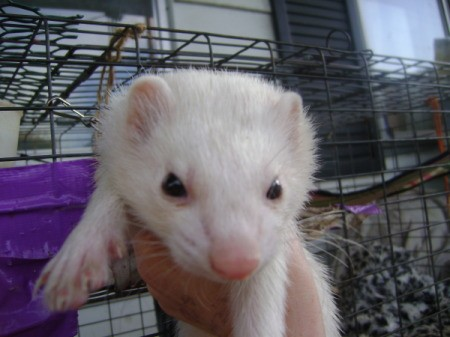 A white ferret with a cage behind it.