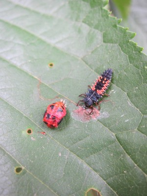 orange and black lady bug looking incents on leaf, one adult and one juvenile
