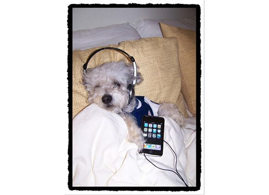 A miniature poodle listening to an ipod.
