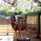 A brown goat standing in a fenced area.