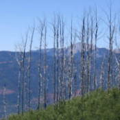 The burned treeline at Missionary Ridge, CO.
