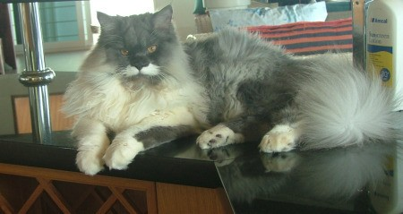 Persian cat laying on a table.