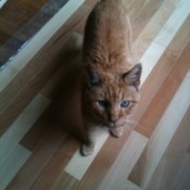 Cat standing on Hardwood Floors