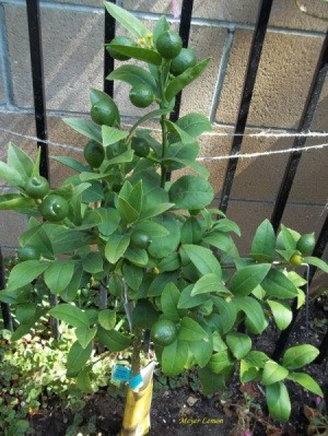 small lemon tree with several green fruit