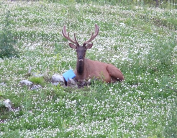 Elk sitting with salt block