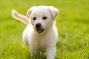 House Training a Puppy, Photo of a labrador retriever puppy.