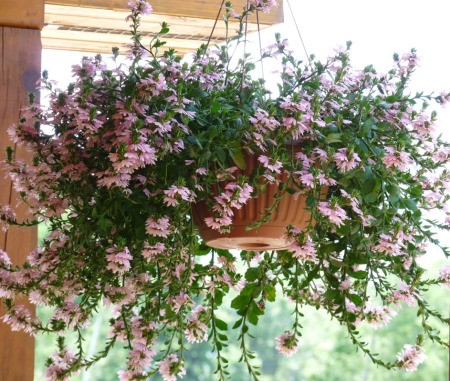 hanging basket with pinkish purple flowers