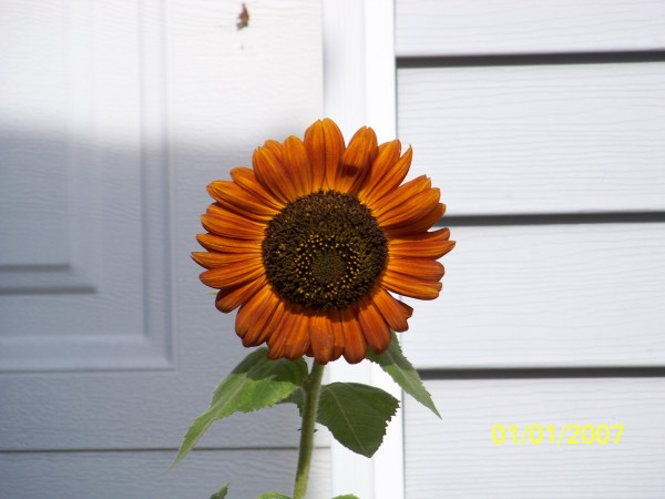 A dark orange sunflower against white siding.