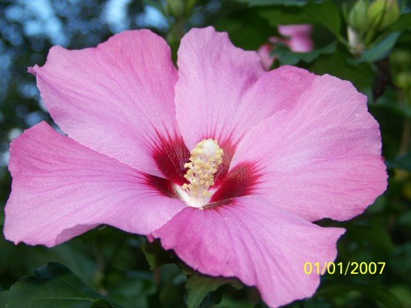 A pink hibiscus flower.