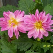 Pink petaled flowers with yellow middles.