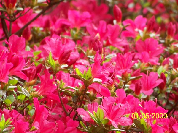 Red-pink azalea blossoms.