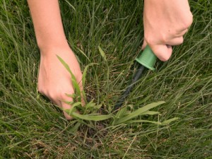 hands removing crabgrass from lawn with weeding tool