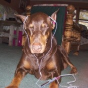 Doberman wearing ipod nano
