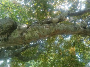 upward shot of tree branch, too far away to see much. Some bark missing.