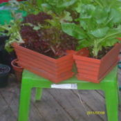 Congainers of lettuce placed on small garden table.