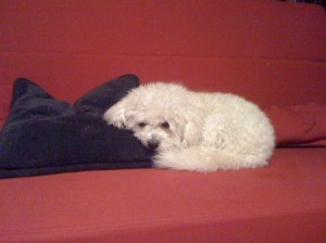 Small white dog on couch with head on black pillow.