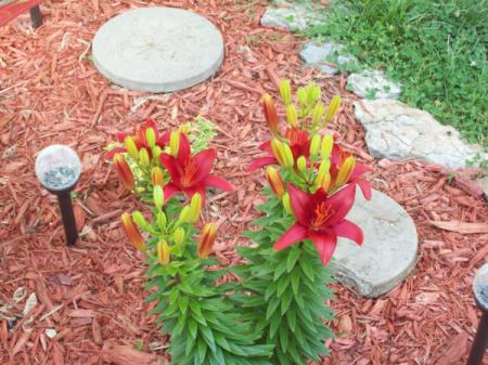 Red lilies in garden