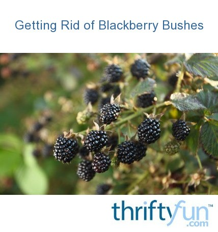 how to clear blackberry bushes