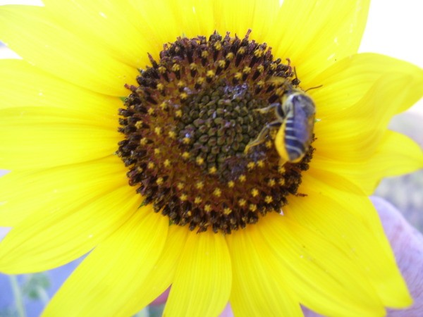 Bee landed on sunflower