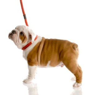 English Bull Dog puppy on a leash