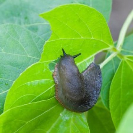 Slug eating a leaf.