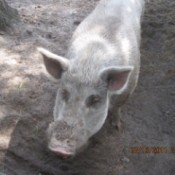 A feral cross hog who is now a pet.