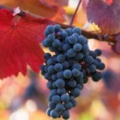 Bunch of concord grapes against autumn leaves.