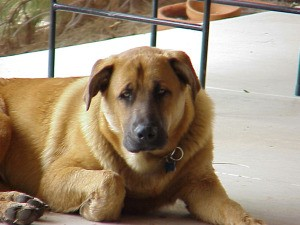 Large brown mixed breed dog on patio.