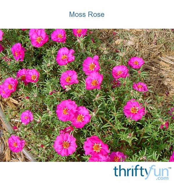 how to get rid of portulaca