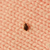 Getting Rid of Bed Bugs, A bed bug on a blanket
