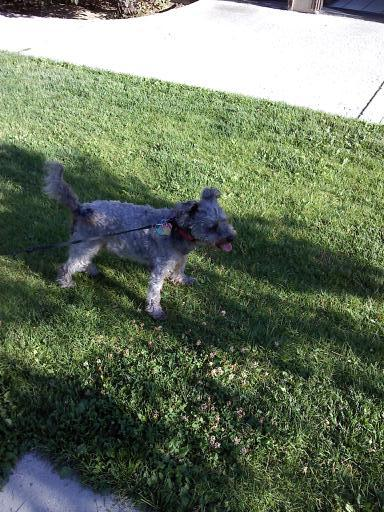 Small dog standing on lawn.