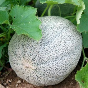 Cantaloupe growing on a vine.