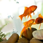 Three goldfish swimming in a tank.